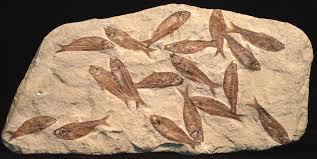 Fish_fossils