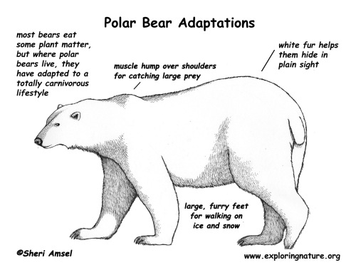 adaptations_bear_polar